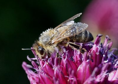 Biene auf Alliumblüte