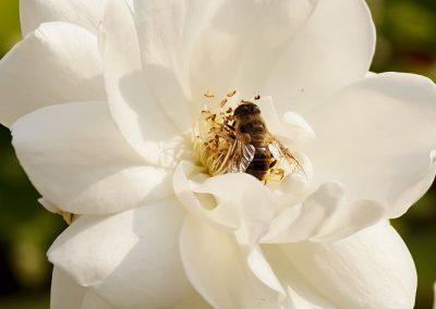 Biene auf Rosenblüte