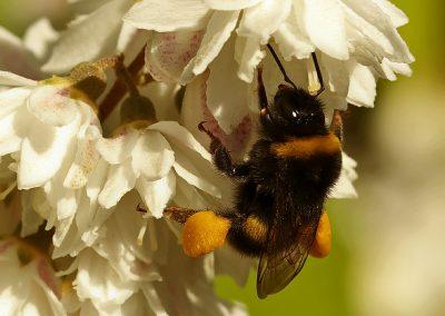Hummel beim Pollen sammeln