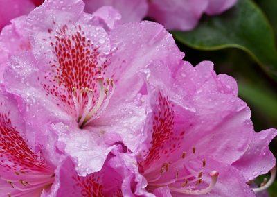 Rhododendronblüte nach dem Regen