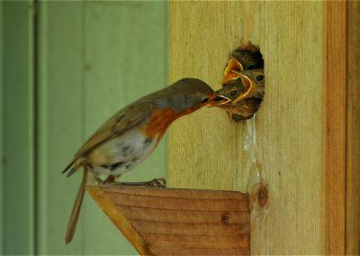 Rotkehlchen Fütterung 2