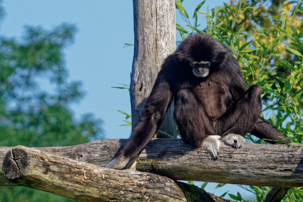 Weisshand-Gibbon